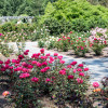 Rose Pruning Workshop At Colonial Park