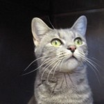 Edith, a domestic shorthair mix, is ready for adoption
